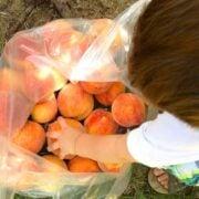 Peach Picking - The Lemon Bowl