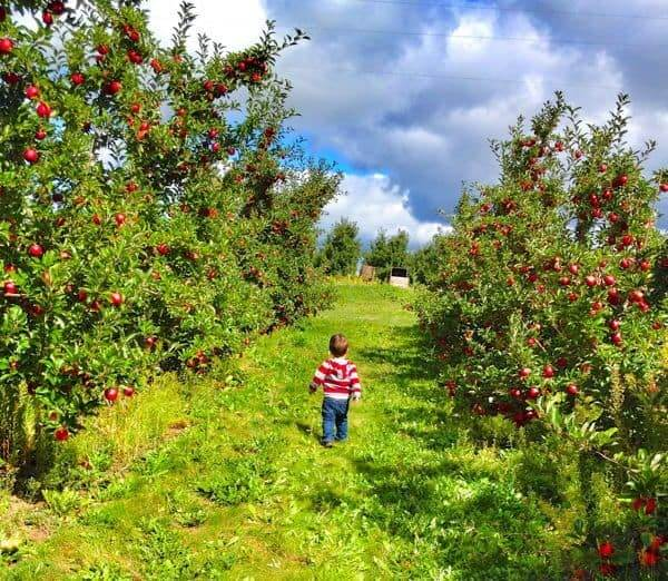 Toddler in Apple Orchard - The Lemon Bowl