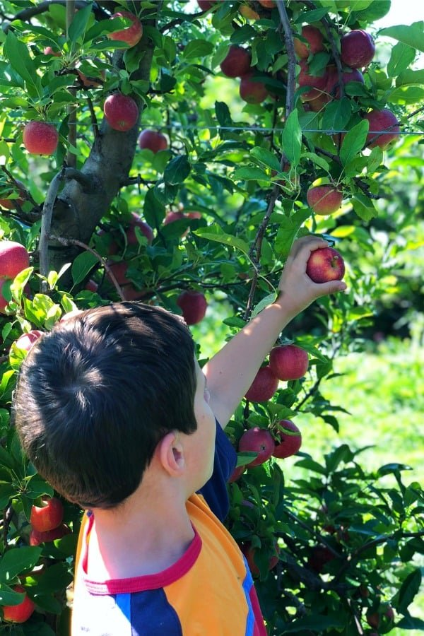 toddler picking an apple from a tree