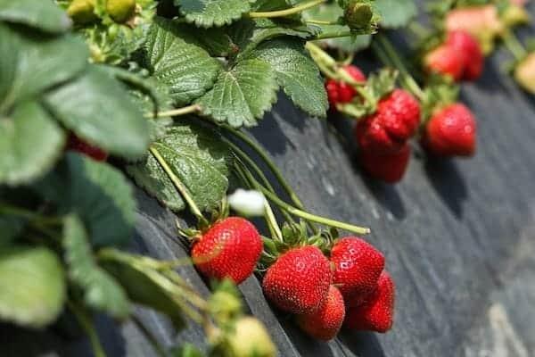 365 days of California Strawberries Farm Tour