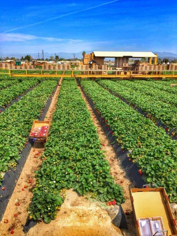 Strawberry Harvesting - The Lemon Bowl