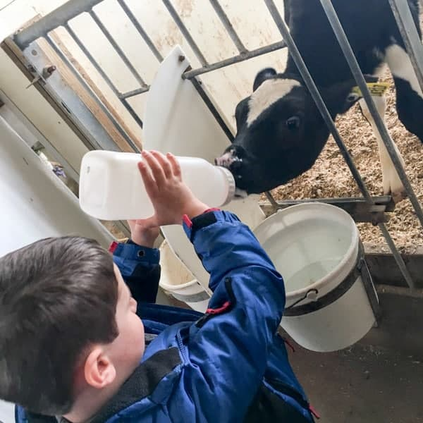 Asher Feeding Cows