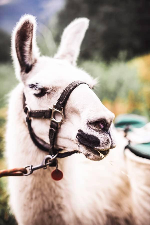 llama-close-up